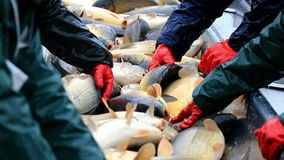 Clasificación de los pescados cogidos almacen de video
