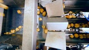 Clasificación de los tubérculos del mecanismo y de la patata que se mueven a lo largo de él almacen de video