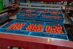 Clasificando y línea de envasado de tomates rojos maduros frescos en vid adentro fotos de archivo