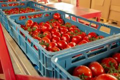 Clasificando y línea de envasado de tomates rojos maduros frescos en vid adentro fotografía de archivo libre de regalías