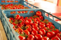 Clasificando y línea de envasado de tomates rojos maduros frescos en vid adentro imagenes de archivo