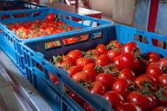 Clasificando y línea de envasado de tomates rojos maduros frescos en vid adentro foto de archivo