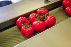Clasificando y línea de envasado de tomates rojos maduros frescos en vid adentro imágenes de archivo libres de regalías