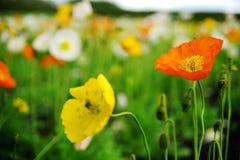 Clasifique los colores Poppy Fowers en el jardín imagenes de archivo