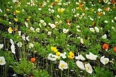 Clasifique los colores Poppy Fowers en el jardín fotografía de archivo