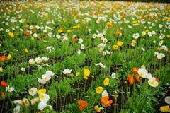 Clasifique los colores Poppy Fowers en el jardín fotos de archivo