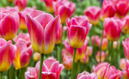 Classé des tulipes Photo stock