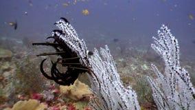 Classe di Crinoidea del giglio di Mar Nero di echinodermi subacquei su fondale marino in Maldive stock footage
