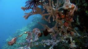 Classe eterogenea di Crinoidea del giglio di mare di echinodermi subacquei su fondale marino in Maldive archivi video