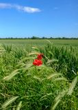 Isolated view of a Poppy flower seen growing in a large field of early crop wheat. Classed as a weed, the occasional wild Poppy will grow in large arable fields Royalty Free Stock Photography