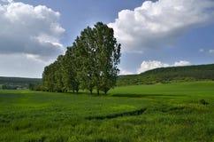 Classes verdes do trigo Fotografia de Stock