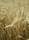 Classes of wheat grain. Classes of mature wheat grains Stock Photos