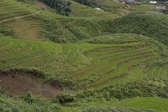 Classic asian rice field, sapa vietnam. Terrace rice field in sapa, vietnam Royalty Free Stock Photography