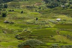 Classic asian rice field, sapa vietnam. Terrace rice field in sapa, vietnam Royalty Free Stock Photo