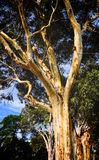 Classic Autralian pale Gum tree in Melbourne Stock Photo