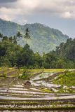 Classic Balinese Terraced Rice Field. Royalty Free Stock Images