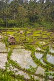 Classic Balinese Terraced Rice Field. Stock Image