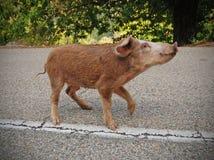 The classic Corsica piggy Royalty Free Stock Photos