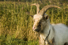 Classic goat royalty free stock photos