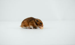 A Classic Golden Hamster Pet. A classic Golden Hamster pouching cereal Royalty Free Stock Images