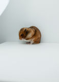 A Classic Golden Hamster Pet Royalty Free Stock Photo