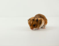 A Classic Golden Hamster Pet. A classic Golden Hamster pouching cereal Royalty Free Stock Photo