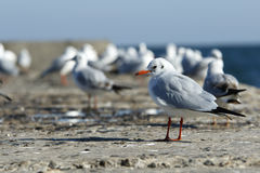 Classic Gull Royalty Free Stock Image
