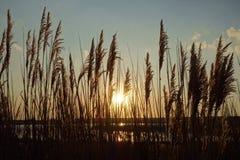 Sunset Through Pampas Grass Stock Photo