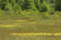 Classic kettlehole peat bog in New Hampshire. Classic kettle hole peat bog with a Sphagnum moss floating mat at Philbrick-Cricenti Bog in New London, New stock image