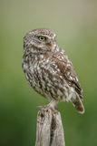 Classic little owl Stock Photography