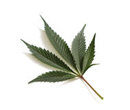 Classic marijuana leaf. Close up with selective focus of a marijuana leaf on a white background royalty free stock photography