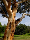 Gum Tree Stock Photos