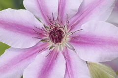 Classic Pink Clematis stock photo