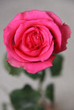 Classic Pink Rose 3. Face of classic long stem pink rose Stock Photos