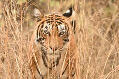 Free Classic Portrait Of Tiger Along With Bushes While She Was Stalking In Her Habitat Royalty Free Stock Photos - 181927678