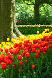 Classic red and yellow tulips. Masses of tulips, one of the many colorful displays of spring time bulb flowers in the world famous Keukenhof garden park in the Royalty Free Stock Image