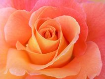 Classic Rose. A close up of a beautiful pastel shaded rose Royalty Free Stock Photography