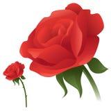 Classic Rose Stock Image