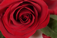 Classic single red rose Stock Images