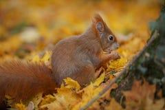 Classic squirrel Stock Images