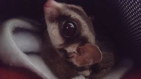 Classic sugarglider face. Classic sugarglider head eye in your face Stock Images