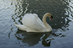 Classic Swan Royalty Free Stock Image