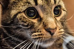 Crazy Tabby royalty free stock photography