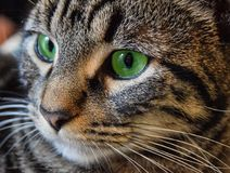 Classic Tabby Green Eyes royalty free stock photography