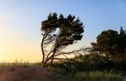 Classical Baltic sea beach landscape. Baltic sea coast near Liepaja, Latvia. Sand dunes with pine trees. Classical Baltic beach landscape. Wild nature stock photo