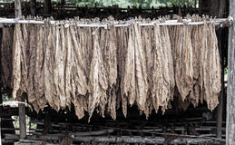 Classical way of drying tobacco in barn Royalty Free Stock Photo