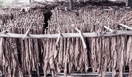 Classical way of drying tobacco in barn Royalty Free Stock Image
