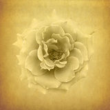 Classical white rose background Royalty Free Stock Photo