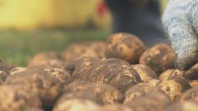 Classificação manual de Fermer de sementes da batata em umas cubetas, segundo o tamanho video estoque