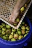 Classificando maçãs imagens de stock
